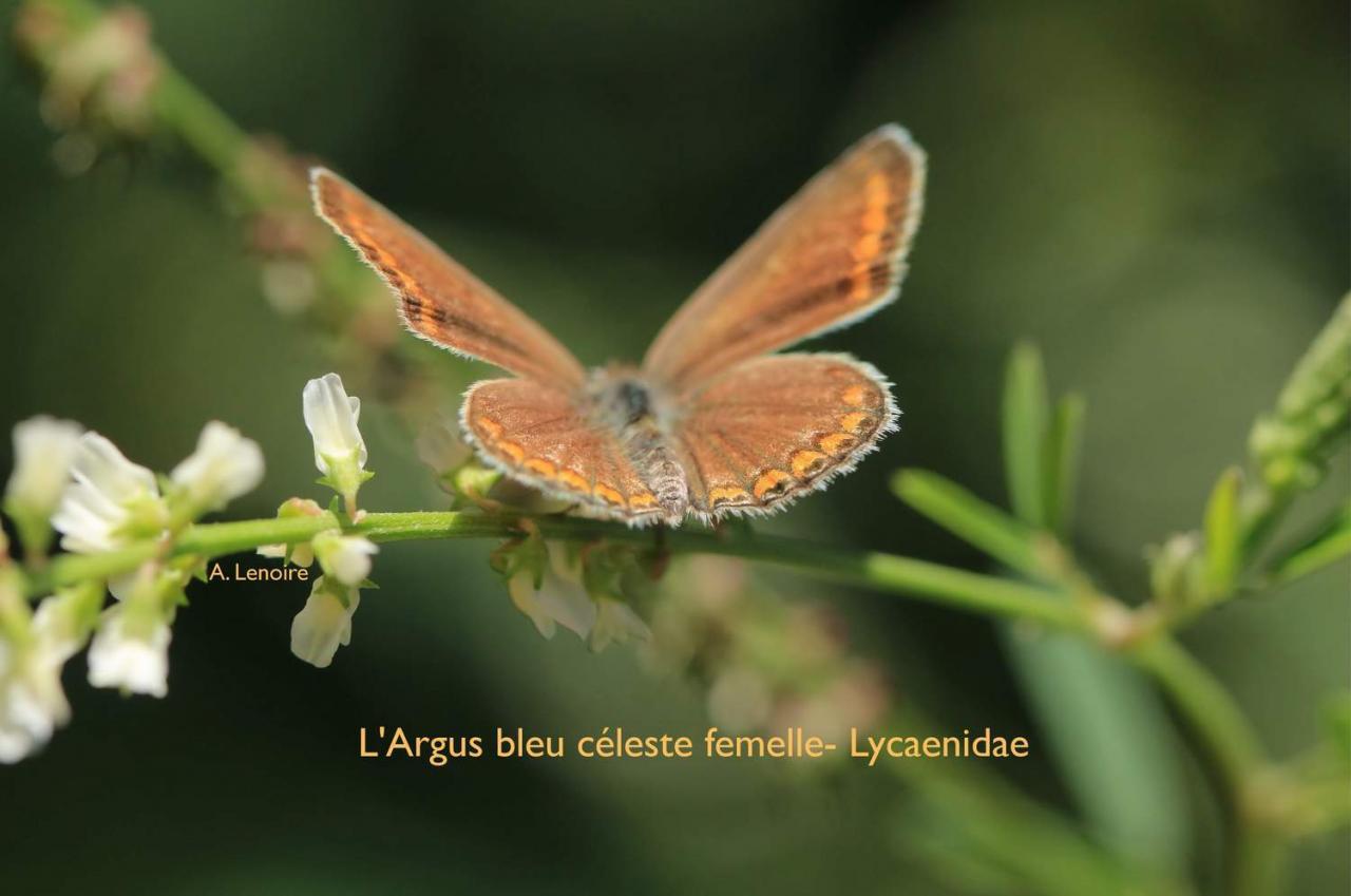 Argus bleu celeste femelle-1500