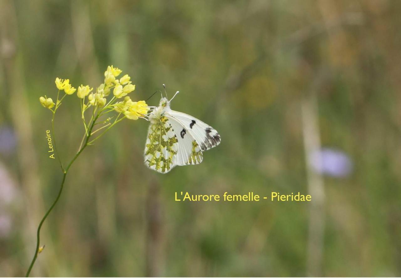 Aurore femelle-1500