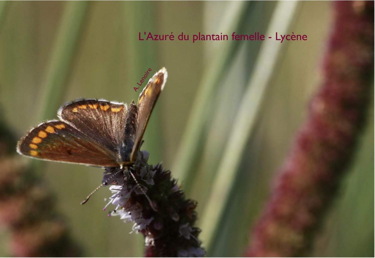 Azure du plantain femelle-1500