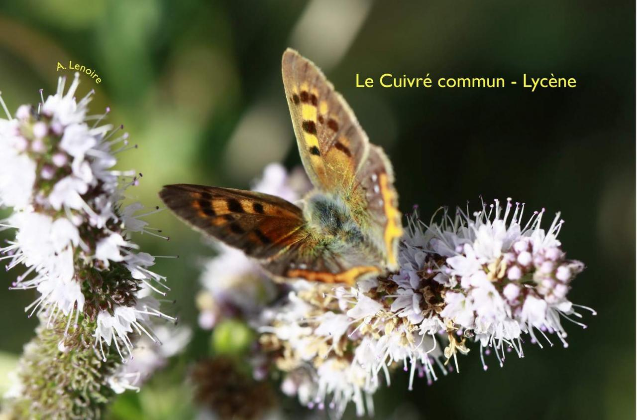 Cuivre commun-1500