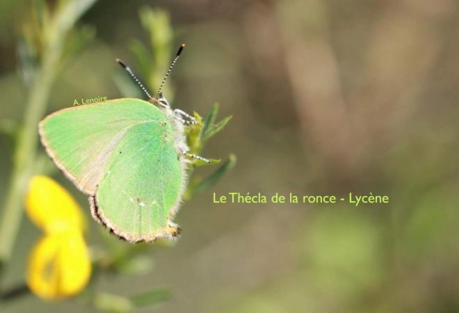 Thecla de la ronce-1500